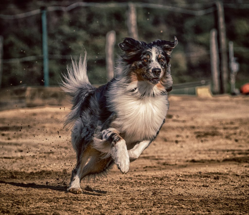 Ein merlefarbener Australian Shepherd orientiert sich beim körpersprachlichen Longieren an seinem Menschen und ist sehr aufmerksam.