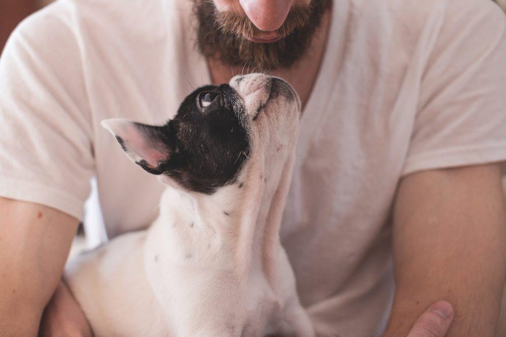 Eine junge französische Bulldogge sitzt ruhig auf dem Schoß seines Herrchens und blickt diesen an.