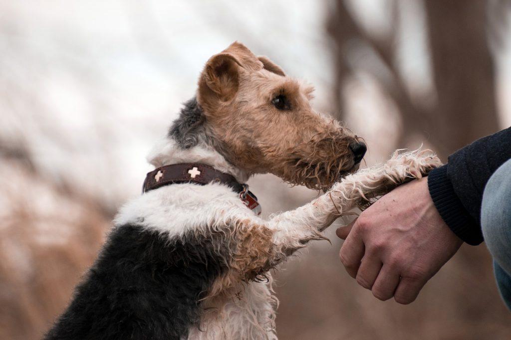 Ein dreifarbiger Welsh-Terrier-Mix legt die Pfote auf die Hand seines Halters.