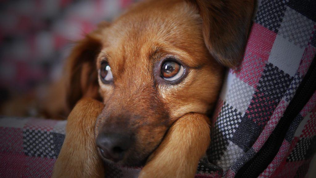 Ein kleiner Hund liegt zusammengekauert in seinem Körbchen. Die Augen sind weit geöffnet.