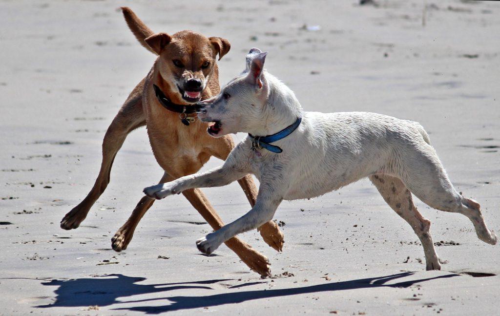 Der braune Hund zeigt aggressives Verhalten gegenüber dem weißen Hund.