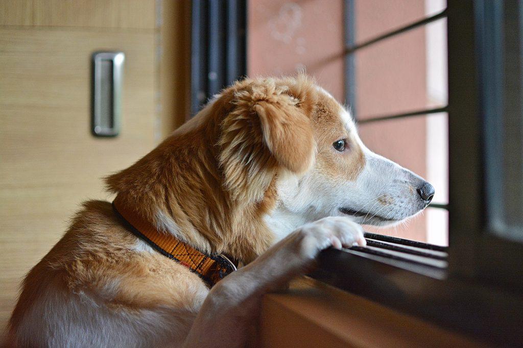 Ein braun-weißer Hund muss alleine bleiben. Er sitzt am Fenster und wartet auf die Rückkehr seines Herrchens.