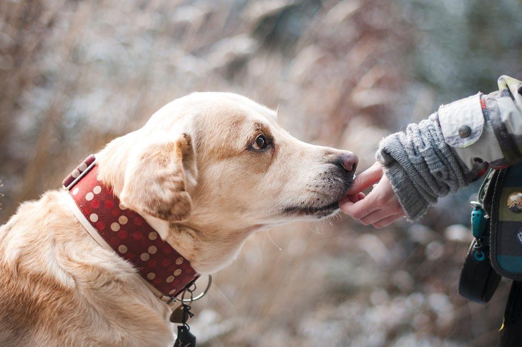 Ein zurückhaltender und ängstlicher Labrador fasst Vertrauen zu seiner Bezugsperson.